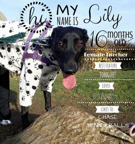 Lily Lurcher.crop