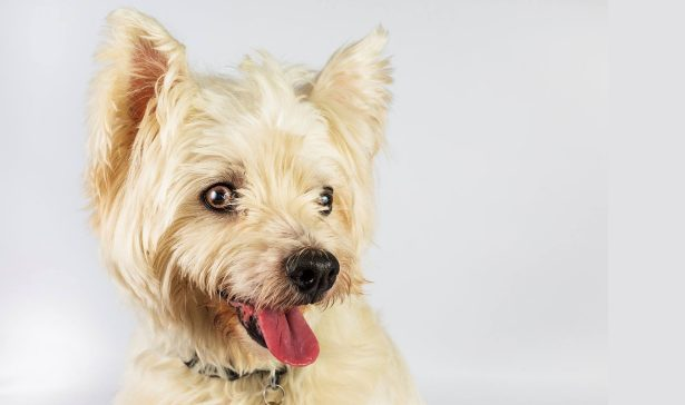 Poppy – Westie 9yrs *REHOMED *