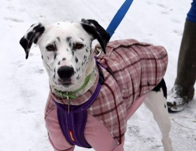 Tig Dalmation X Collie **Rehomed **