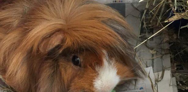 Elvis – Hamster