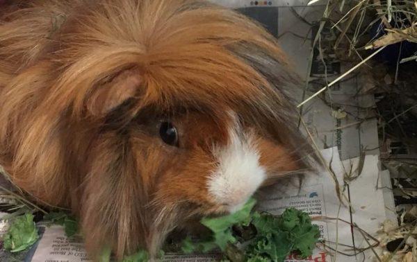 Elvis – Guinea Pig **Rehomed**