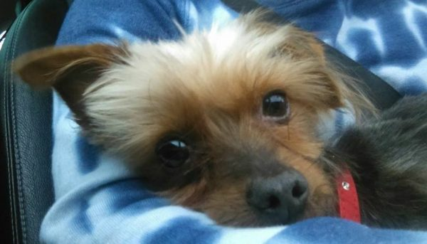 Big Ben – Yorkshire Terrier  ** Rehomed **