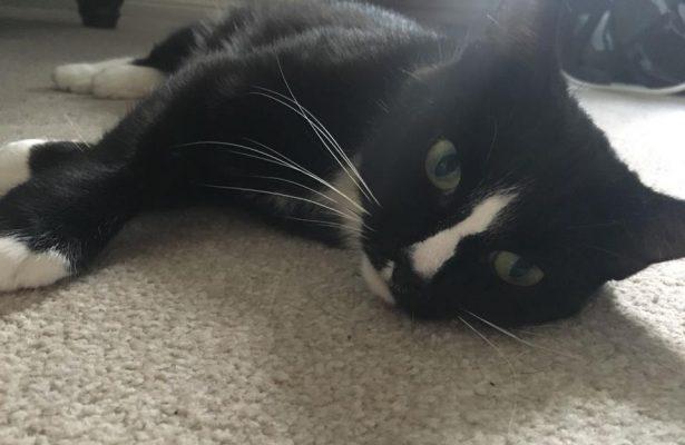 Bibi 2 Yr female cat