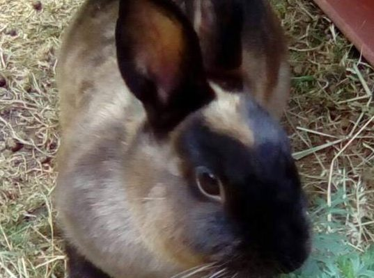 Lulu – Rabbit – bonded pair