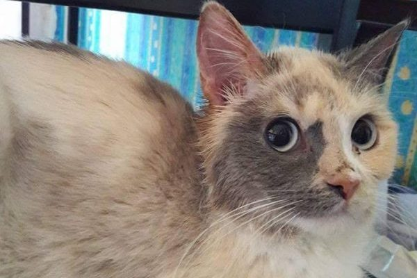 Zingel – Ragdoll Cross **Rehomed**