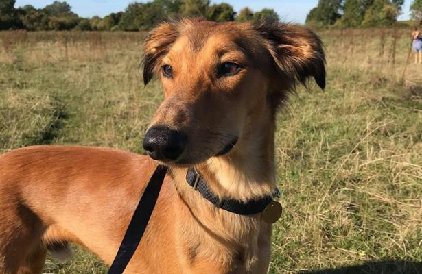 Maui 8m Saluki Cross ** Rehomed **