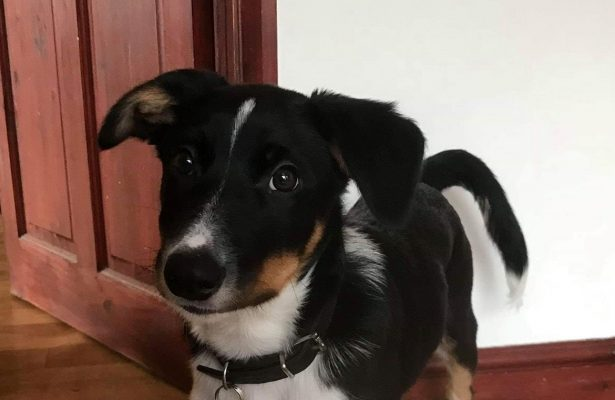 Tictac 4mth Collie X  ** REHOMED **