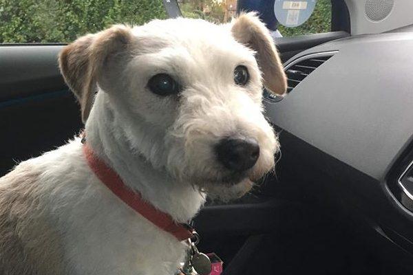 Phoebe 12 yrs Fox Terrier  ** Rehomed **