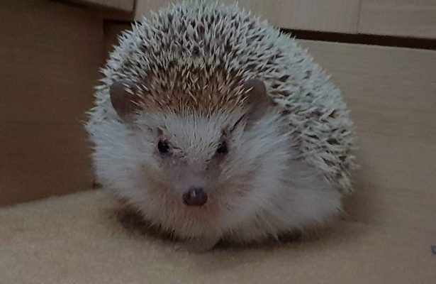 Sprout,  Hedgehog
