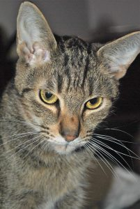 Julep, 4yr old cat for adoption