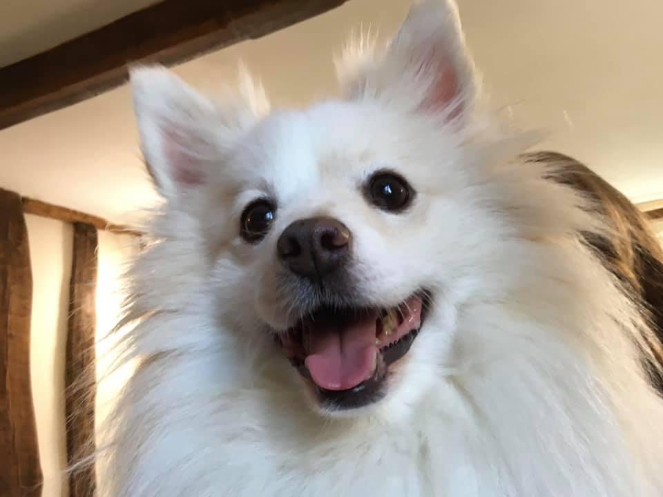 Snowdon, Pomeranian for adoption