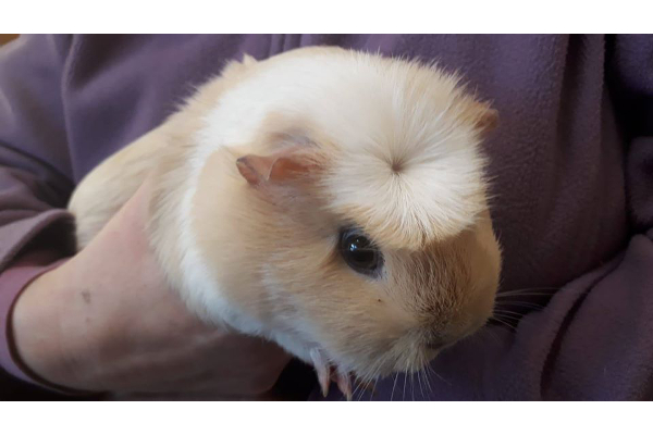 Guinea pigs **Rehomed**